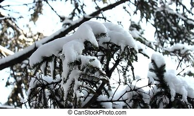 snow in tree - snow in fir pine tree