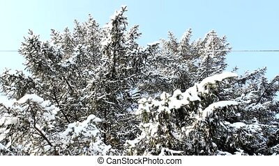 snow in tree branch - snow in fir pine tree branch