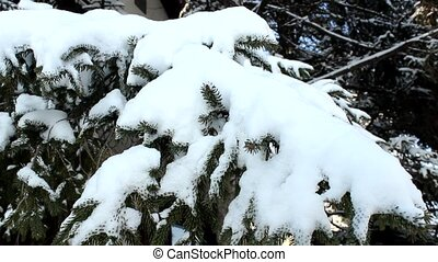 snow in branch - snow in fir pine tree branch