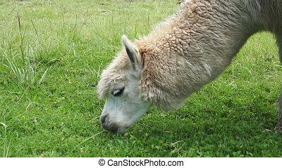 Llama Eating Green Grass - A llama in Ecuador grazing on...
