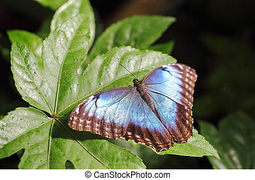 Metallic blue Butterfly on a leaf - Dorsal view of a...