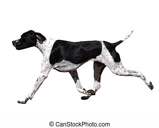 Black and White Pointer - Black and white Pointer isolated...