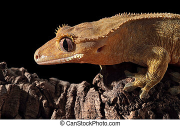 Caledonian crested gecko on a branch - Side view of a new...