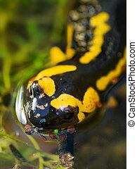 salamandra, Primer plano