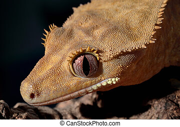 Portrait of a Caledonian crested gecko - Closeup of an...