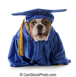 puppy obedience - english bulldog wearing graduation costume...