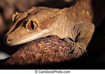 Closeup of Caledonian crested gecko - Closeup of a new...