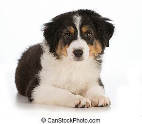 cute puppy - Australian Shepherd puppy laying down looking...