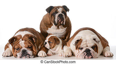 bulldog family - four generations - Great Grandmother in...