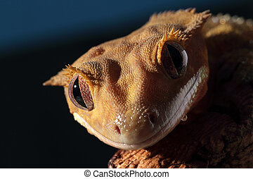 Portrait of a Caledonian crested gecko - Portrait of a new...