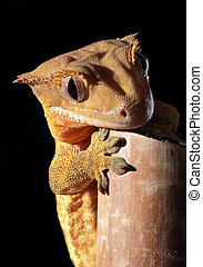Caledonian crested gecko on a bamboo cane - A new Caledonian...