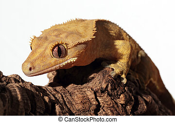Caledonian crested gecko on a branch - Portrait of a new...