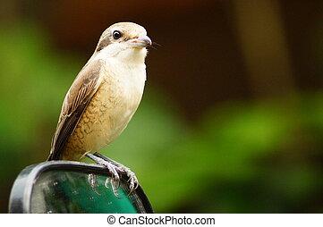 Bird Perching on Truck Side Mirror - Pirok Pirok Bird...