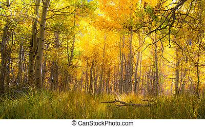 Beautiful golden aspen grove - sun streaming through amazing...