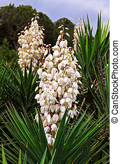 Yucca Patch - Yucca plants bloom with spikes of white...