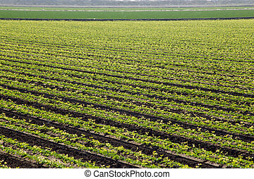 Green Rows of Cilantro - Many rows of cilantro growing. The...