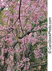 rosa, sakura, flor, árbol, Plano de fondo