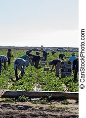 Latino Field Workers Picking Produce - Many immigrant...
