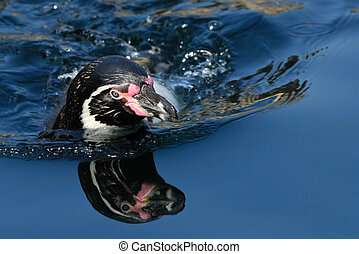 humboldt penguin swimming - close-up of a humboldt penguin...