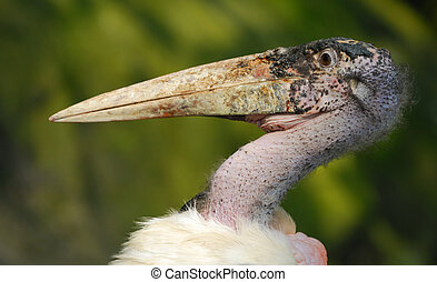 Marabou Stork - close-up of a Marabou Stork, Leptoptilos...