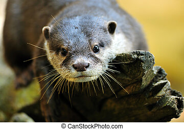 Oriental Small-clawed Otter Aonyx cinerea, also known as...