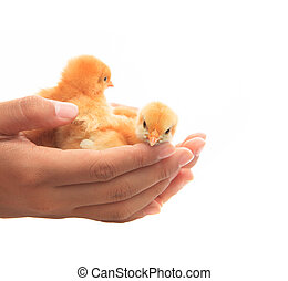human hand holding two of baby chick seem helping protect...