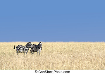 herd of zebras - Small herd of Grants zebras graze on Masai...