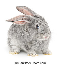 Rabbit - Isolated image of a gray bunny rabbit.