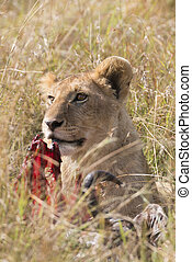 Lion cub - Juvenile african lion over wildebeest kill, Masai...