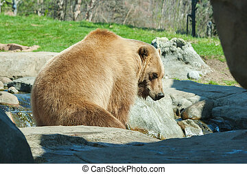 Brown Bearin the wild - Brown Bear taking a break from its...