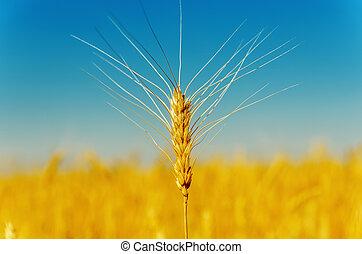 golden harvest under blue sky