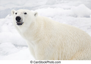 Polar bear - Smiling polar bear