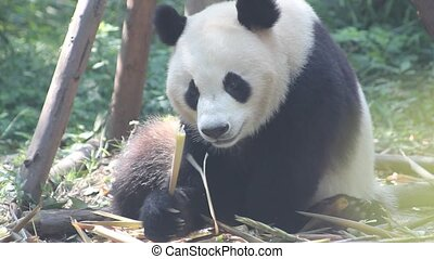 Pandas eat fresh bamboo shoots - Giant pandas do not stop to...