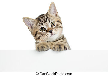 cat kitten peeking out of a blank placard, isolated on white...