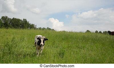 bull graze grass gadfly - mottled bull graze in pasture...