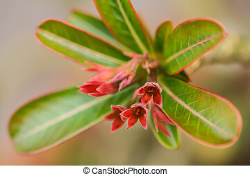 Desert Rose is a flower that grows easily and is resistant...