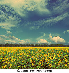 sunflowers field - vintage retro style - sunflowers field...