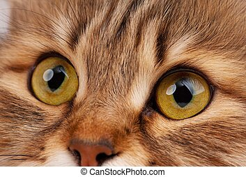 Cats eyes - Yellow eyes of adult siberian cat close-up