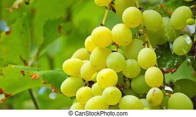 grapes and raindrops