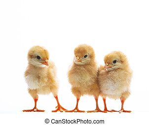 three of little yellow kid chick standing on white...