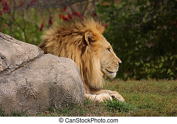 Soaking up the sun - Male Lion