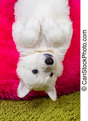 Baby white swiss shepherd hanging upside down