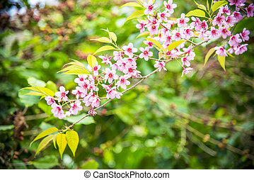 Wild Himalayan Cherry flower blossom on the tree14