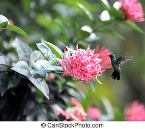 Colibri eating some flower in Brazil