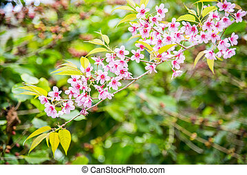 Wild Himalayan Cherry flower blossom on the tree13