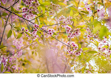 Wild Himalayan Cherry flower blossom on the tree12