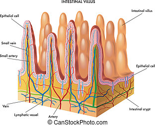 intestinal villus - medical illustration of anatomy of the...