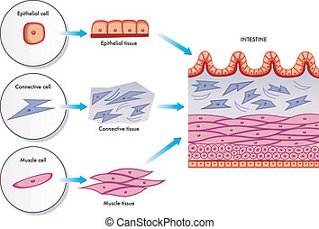 Intestinal wall cells - medical illustration of the...