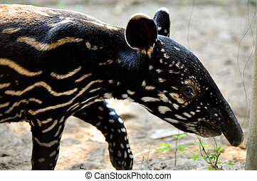 Baby malayan tapirs have striped-and-spotted coats for...