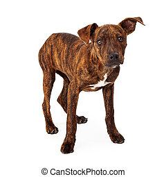 Brindle mixed breed puppy standing isolated on white...